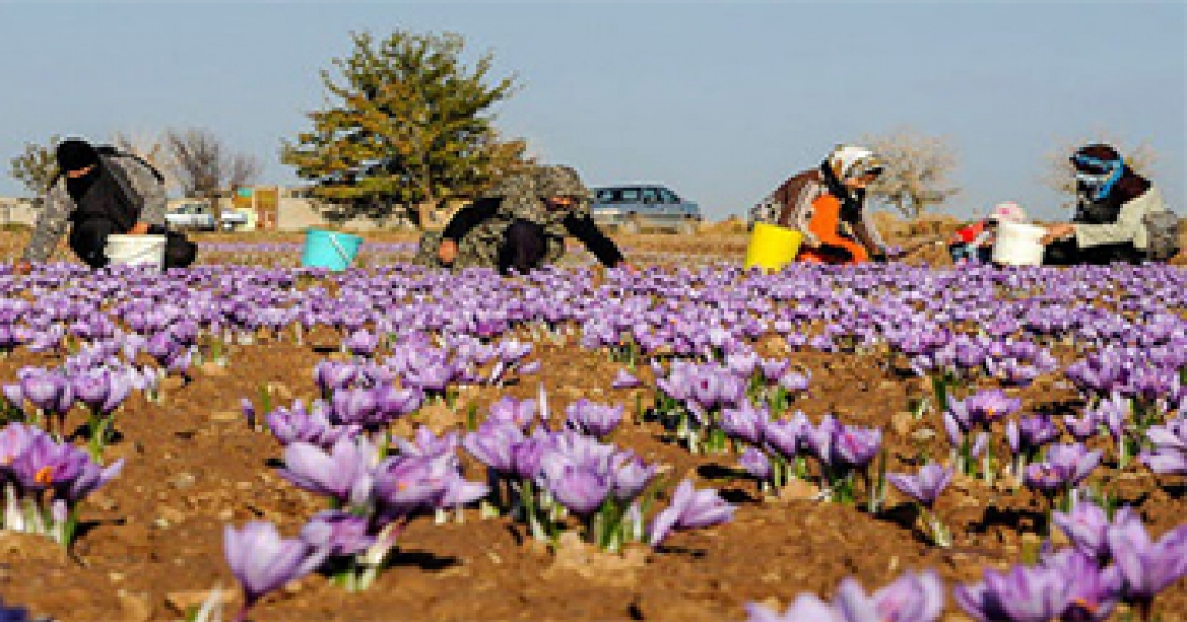 Training on planting, harvesting, saffron harvesting