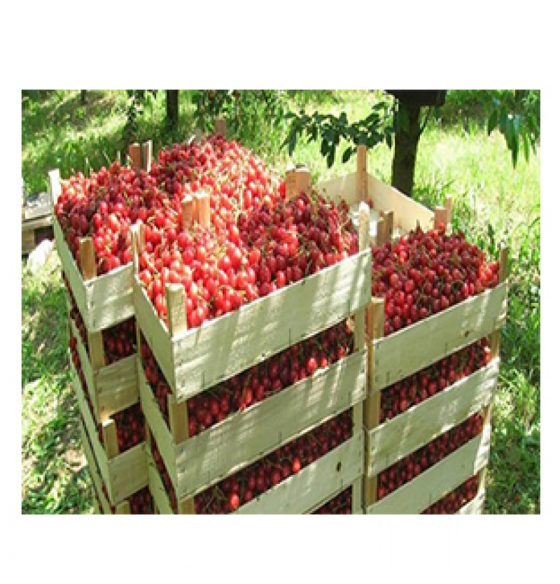 Iranian export cherries